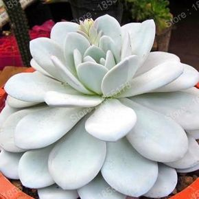 2017 succulent fleshy plants flower seeds in pots perennial fleshiness garden bonsai plants seed planting easily 300pcs/bag #bonsaiplants