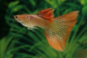 Pretty Guppy Fisk Dyr