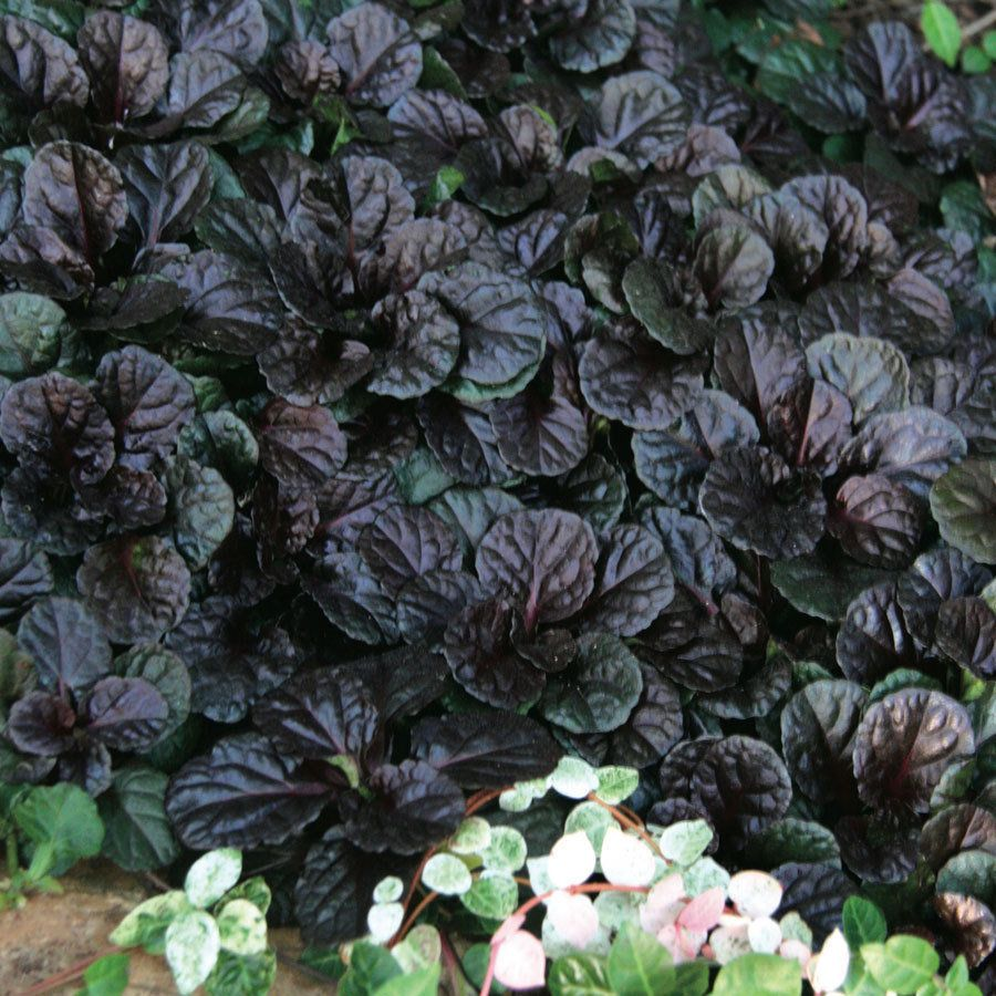 20 Black Flowers And Plants To Add Drama To Your Garden: BLACK SCALLOP AJUGA PERENNIAL 10 PLANTS ***I SHIP DAILY