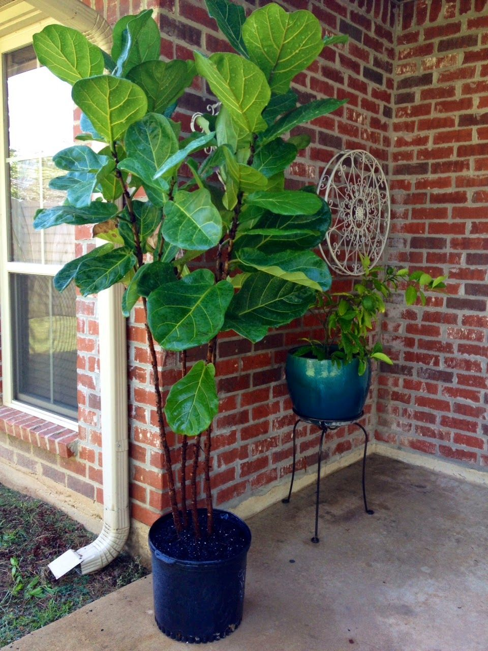 All about the fiddle leaf fig fiddle leaf fig fiddle