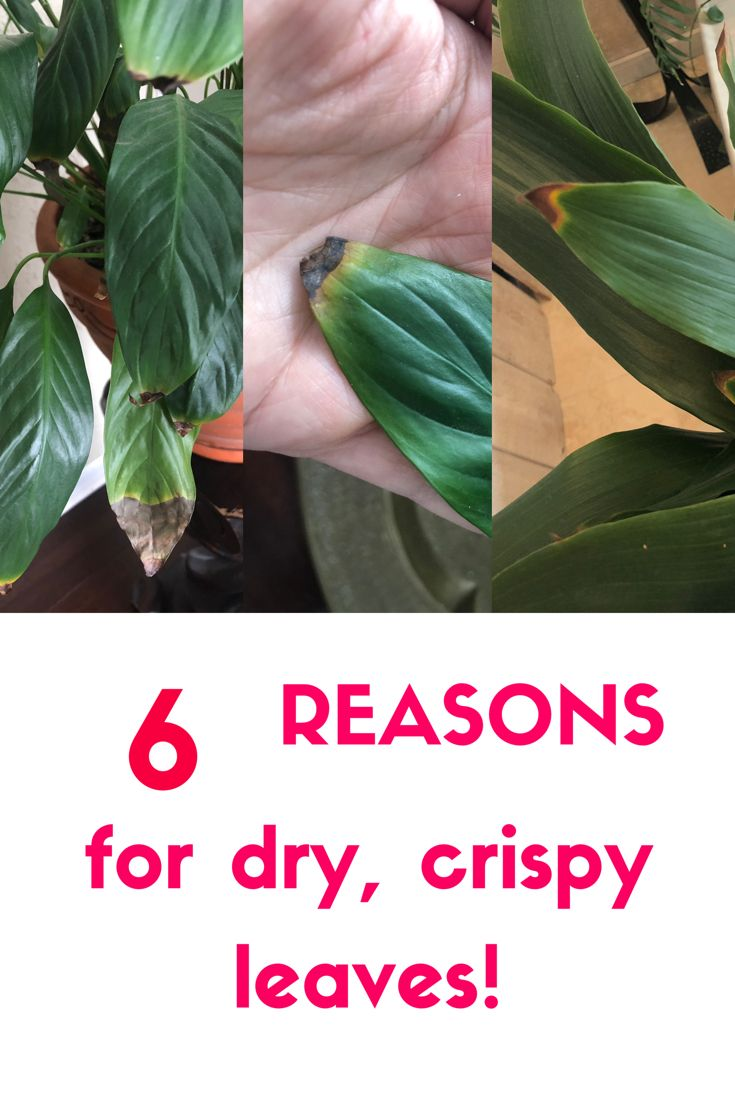 Are you leaf tips turning brown and crispy? Check out my ...