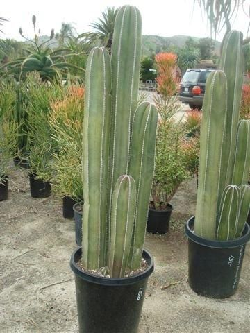 Mexican Fencepost Cactus Growth Rate 1500 Trend Home