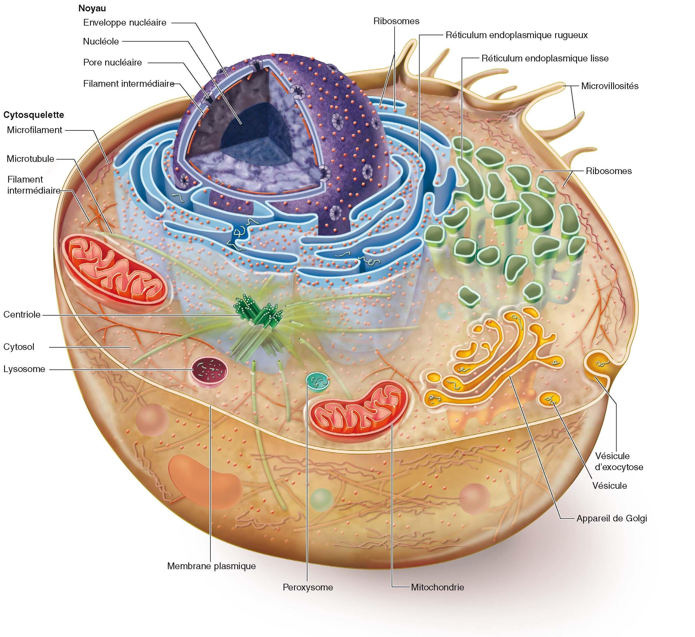 La Cellule Est La Plus Petite Partie Composante Autonome Vivante Des Etres Vivants Biologie Cellulaire Cellule Animale Anatomie Du Corps Humain