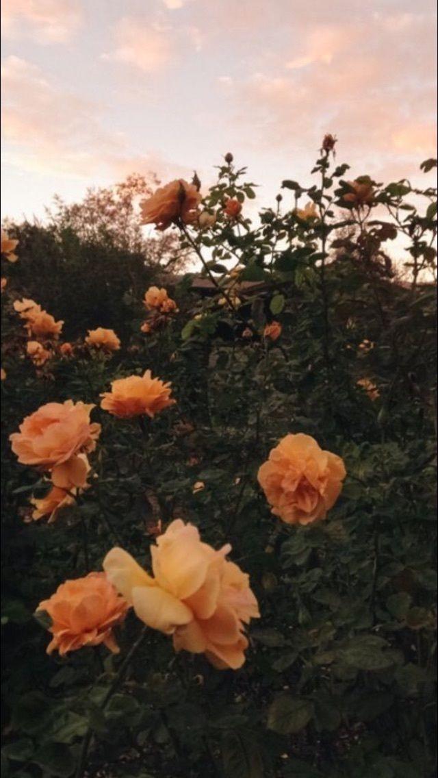 Tumblr Iphone Orange Rose Wallpaper Aesthetic Wallpapers Wallpaper Rose Wallpaper
