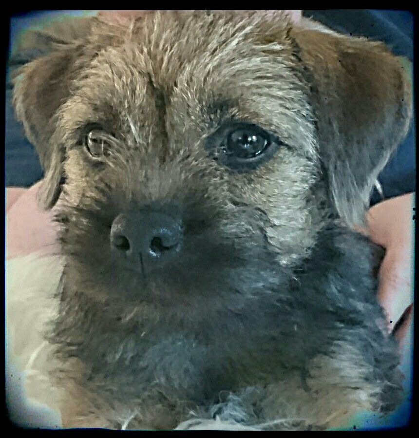 Beautiful Puck, 4 months old Border terrier, Brown dog