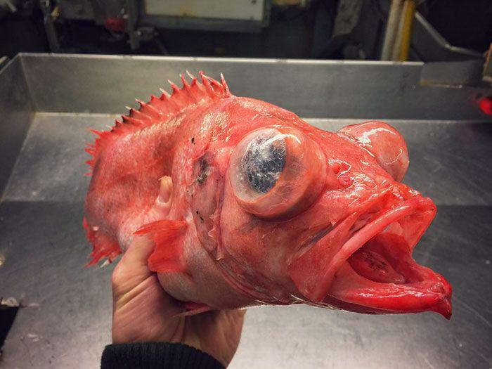 Un Pêcheur russe montre les Créatures terrifiantes qu'il trouve dans les Mers profondes sur Twitter (10)