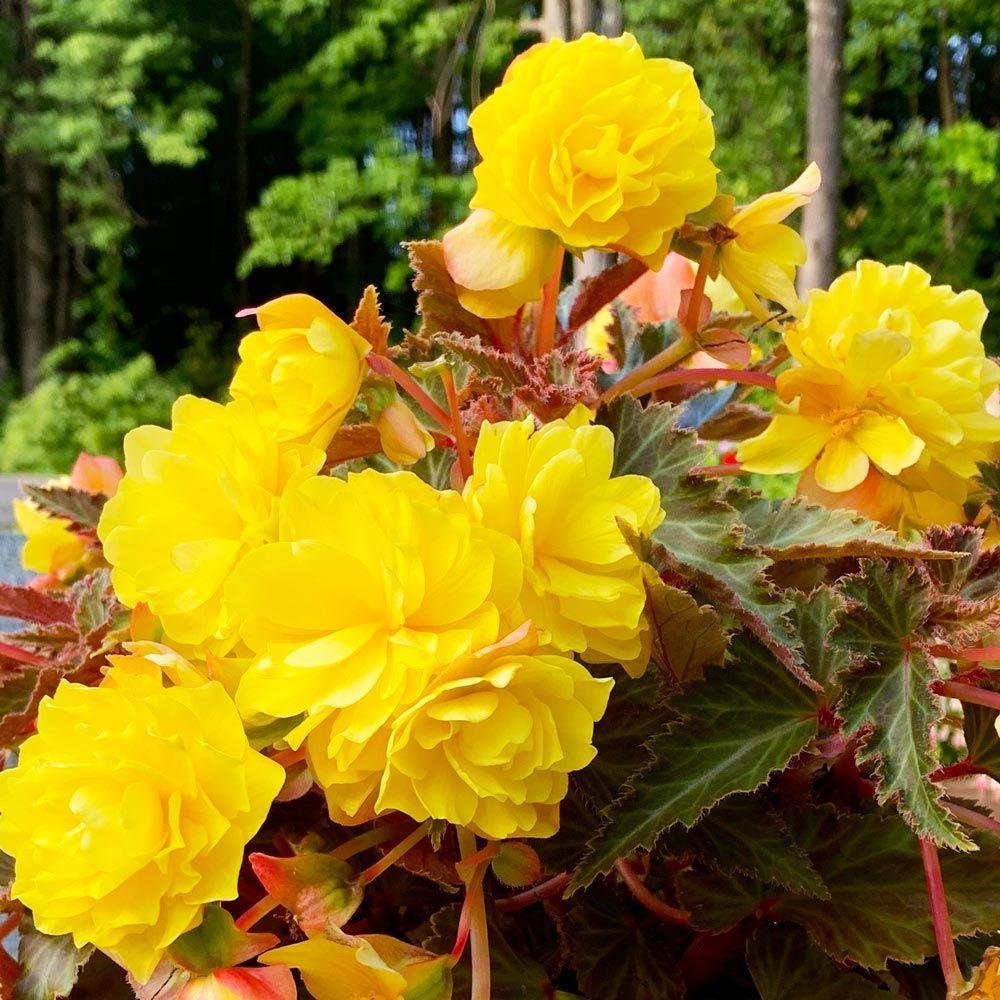 Begonia I Conia Portofino Yellow Begonia