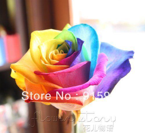 Rare Holland Rainbow Rose