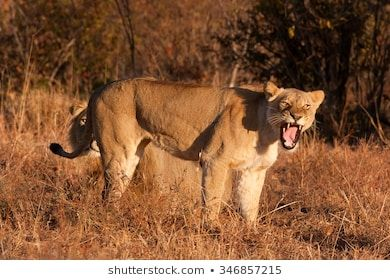 lion, panthera leo #adult, #africa, #aggressive, #animal, #area, #backround, #body, #brown, #calm, #cat, #cool, #country, #danger, #day, #ear, #endangered, #eye, #family, #fauna, #female, #green, #ground, #head, #horizontal, #hunting, #king, #kruger, #lie, #lion, #main, #mammal, #mane, #mouth, #national, #nature, #open, #pack, #park, #photo, #picture, #predator, #rare, #red, #reproduction, #rutting, #safari, #shy, #trophy, #wild