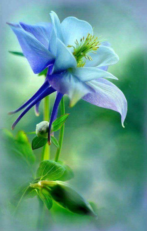 How to Grow Stunning, Spurred Columbine Flowers for Butterflies to Love is part of Columbine flower, Beautiful flowers, Unusual flowers, Flowers for butterflies, Blue flowers, Flowers nature - Columbine Flowers have a very unusual shape to them, but you don't have to simply admire them when you see them in botanical gardens  You can grow gorgeous flowers like these in YOUR garden!