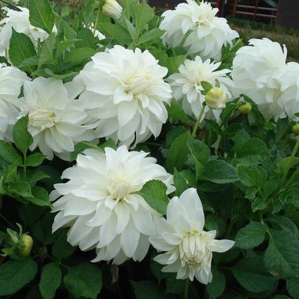 Dahlia g ant lady liberty plant fleurs fleurs for Plantes fleurs et jardins