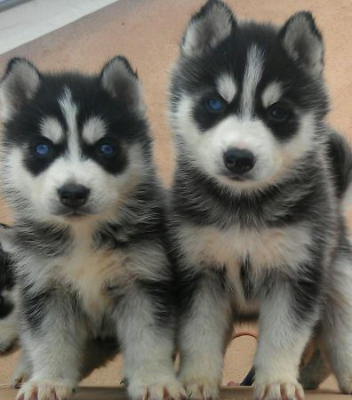 Husky Puppies Animals Beautiful Rottweiler Puppies Puppies
