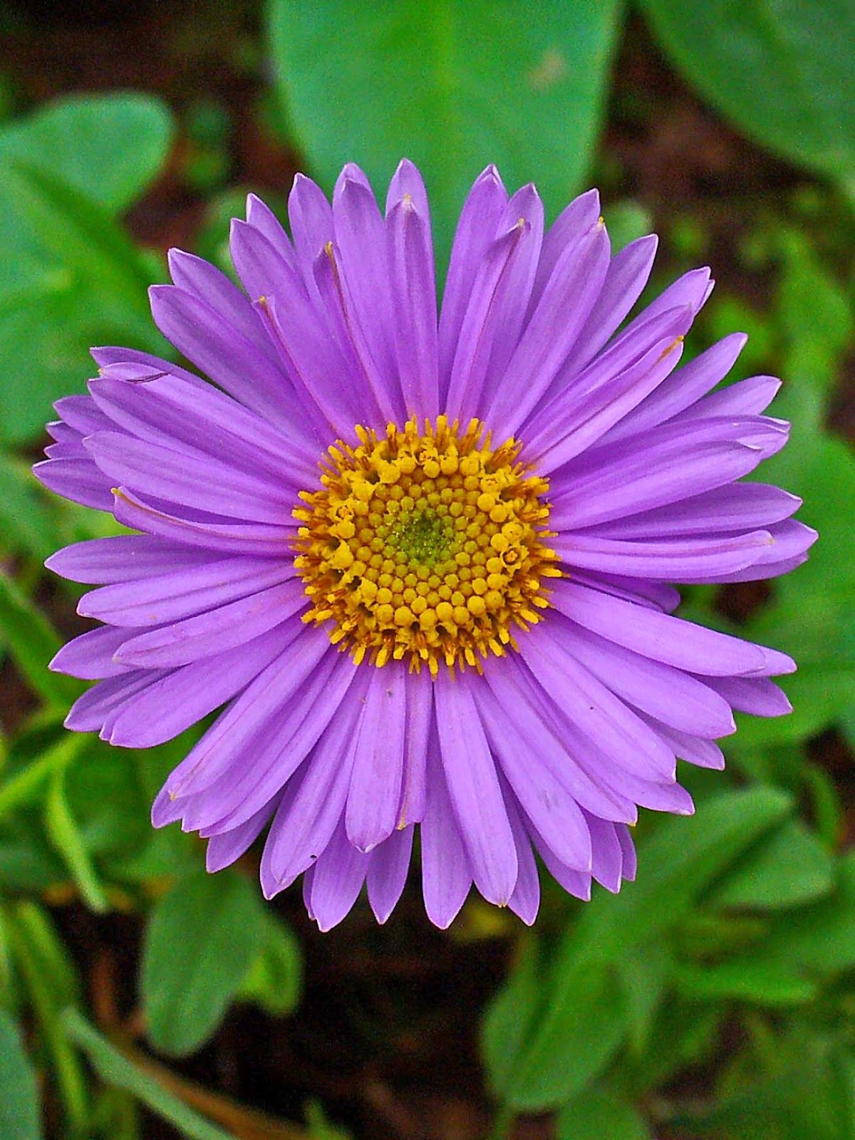 The Favorite Flowers Of Bees And Butterflies Aster Flower Aster Flower Tattoos Birth Flowers