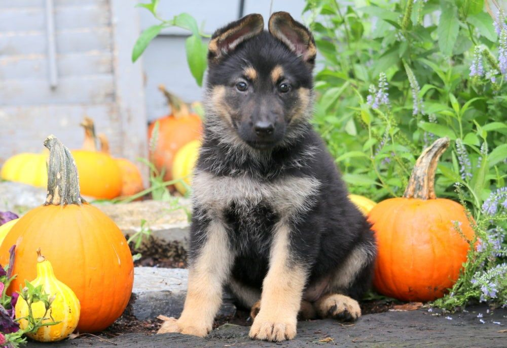 Whitney German shepherd puppies, Shepherd puppies