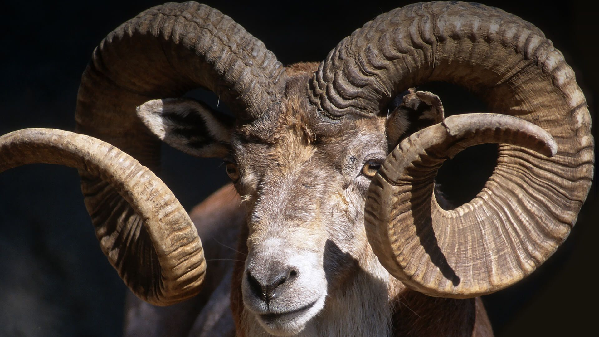 Closeup of a male Trandcaspian urial displaying his large