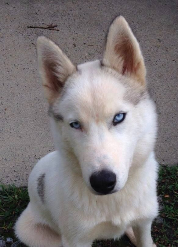Lost In Ararat Nc Have Lost My Siberian Husky Male All White