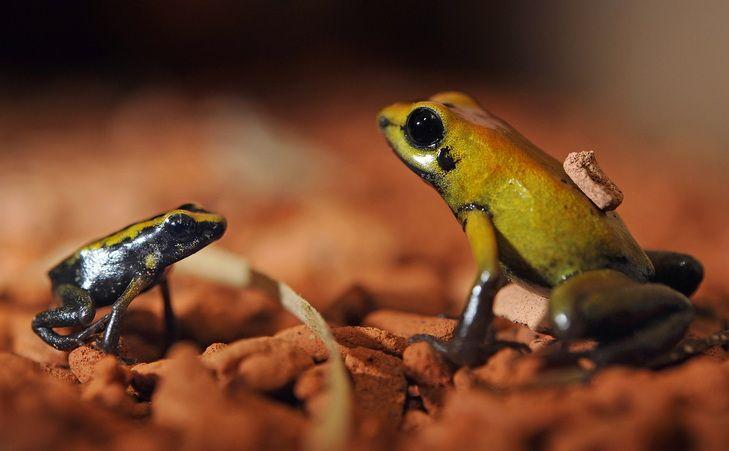 """Résultat de recherche d'images pour """"golden poison dart frog carrying baby"""""""