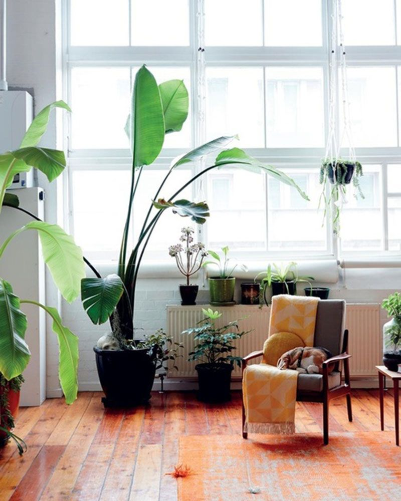 White Bird Of Paradise How To Keep Your Indoor Plants Alive The Every