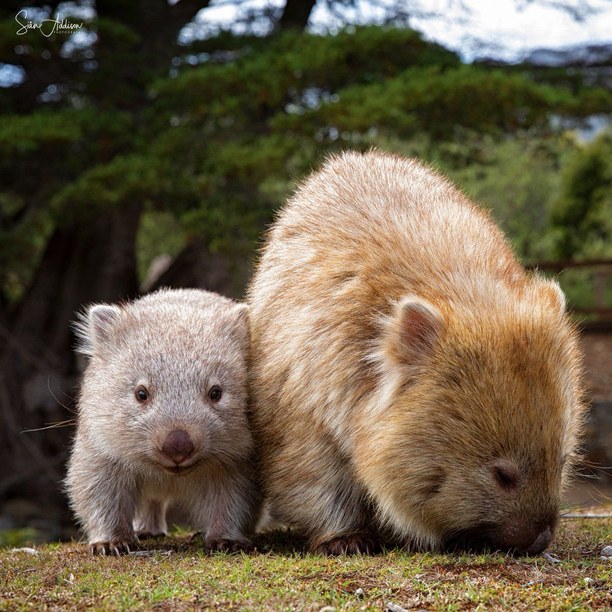 Maria Island Is Known As Tasmania S Noah S Ark The National Park Is Filled With Wild Australian Fauna Including K Australia Animals Cute Animals Baby Animals