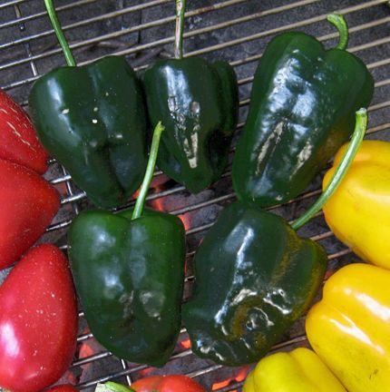 Pepper 'Mulato Isleno' ('Poblano' or 'Ancho' type peppers are relatively mild...)