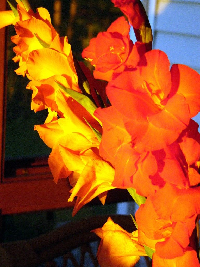 Common Gladiola Disease Problems And Gladiolus Pests Gladiolus Gladiolus Bulbs Gladiolus Flower