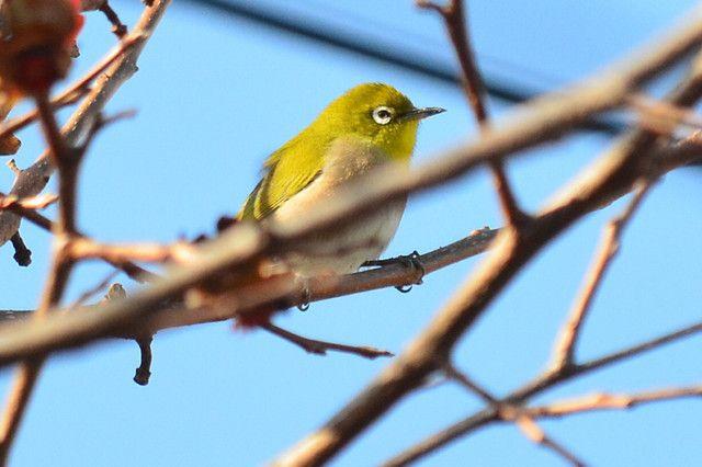 メジロ By Dakiny Id 2254615 写真共有サイト かわいい 鳥 写真