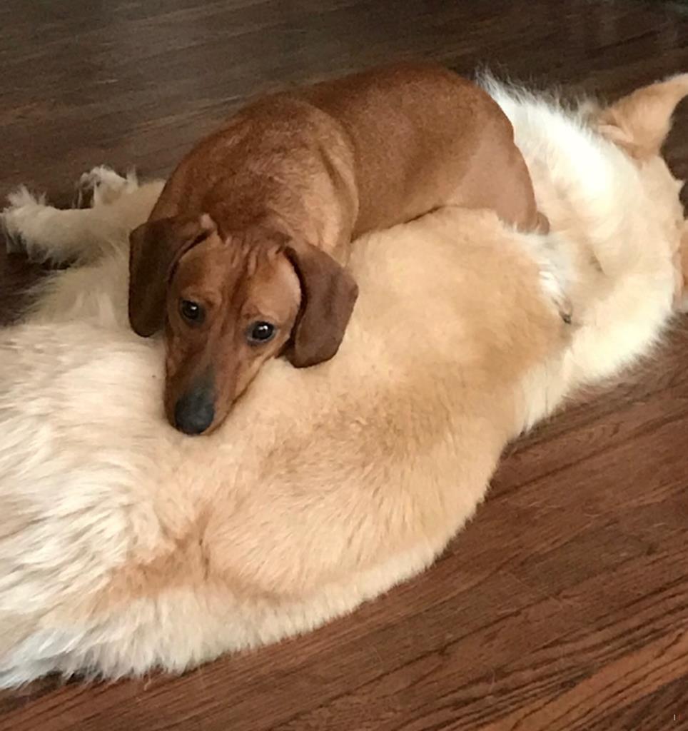 Back Home Dog Dachshund Dayton, OH, USA 45424 Dogs