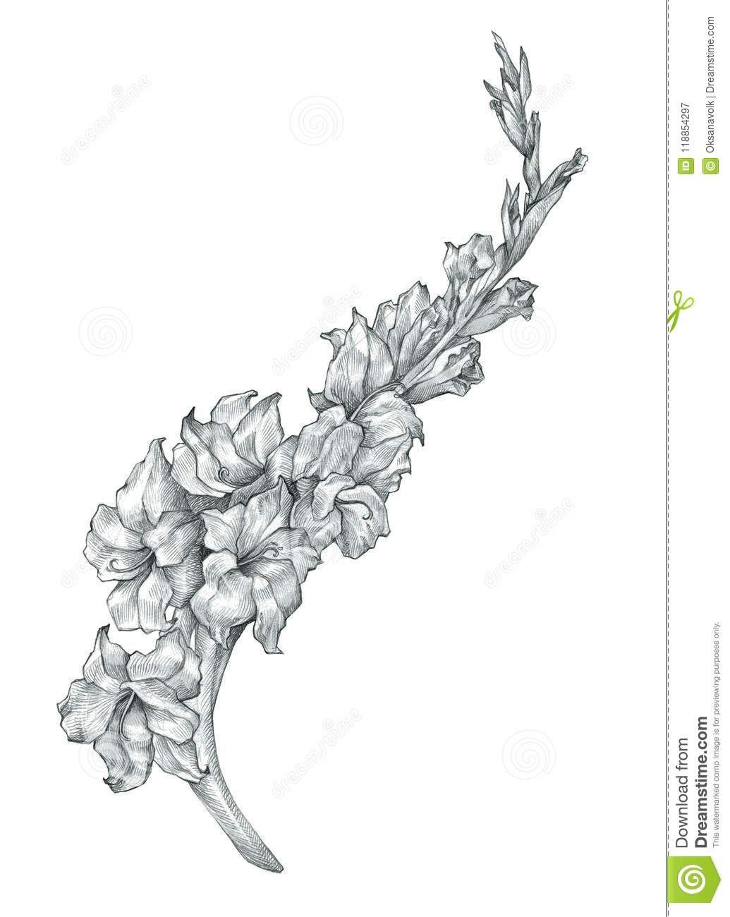 Beautiful Pencil Gladiolus Flower Drawing Sketch Illustration Stock Illustration Illustration Of Design Bla Flower Drawing Gladiolus Flower Drawing Sketches