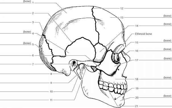 Figure 13 3 Label The Inferior Bones And Features Of The Skull Skull Anatomy Anatomy Bones Human Skeleton Anatomy