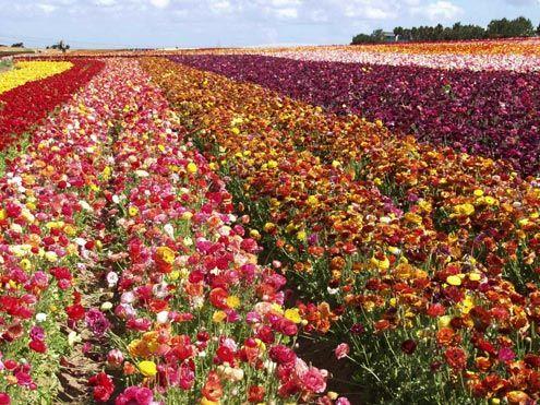 Carlsbad Flower Fields Ca Carlsbad Flower Fields Flower Field Flowers Nature