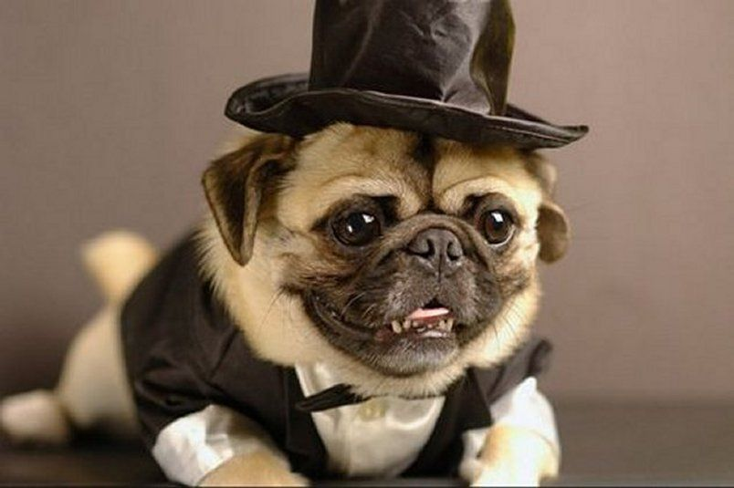 ebe500f4ee7 ... LOVE pugs  ) Pug Dog Top Hat