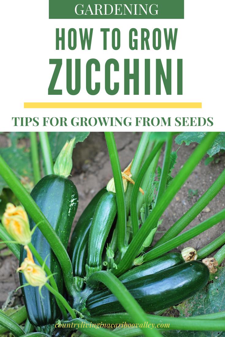 How To Grow Zucchini In 2020 Growing Zucchini Zucchini 400 x 300