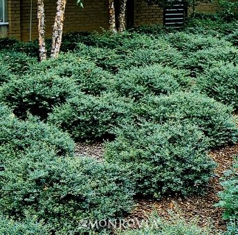 Stoke 39 s dwarf yaupon holly ilex vomitoria 39 stoke 39 s dwarf for Slow growing trees for front yard
