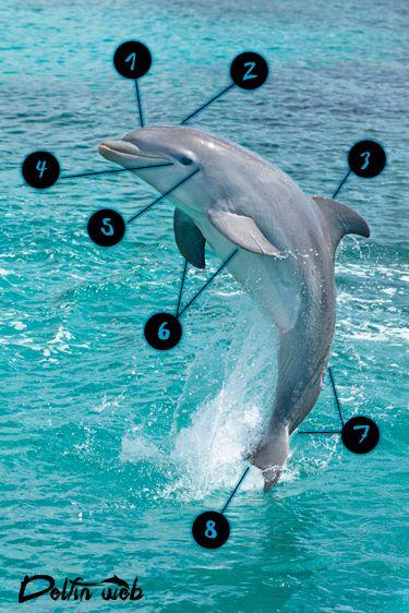 Anatomía Del Delfín   Delfin Web   Delfinweb.org   BAJO EL MAR ...