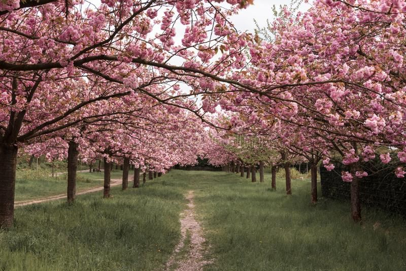 Path Lined With Sakura Trees In Bloom Cherry Blossoms Walking Path Beautiful Ad Trees Bloom Sakura Path Li Sakura Tree Cherry Trees Garden Tree