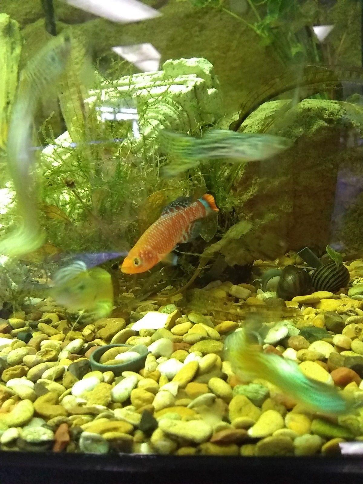 Nothobranchius Rachovii Killifish 1 1 5 Inch Live Fish For Sale Nothobranchius Rachovii Killifish 1 1 5 Tropical Fish Store Live Fish For Sale Fish