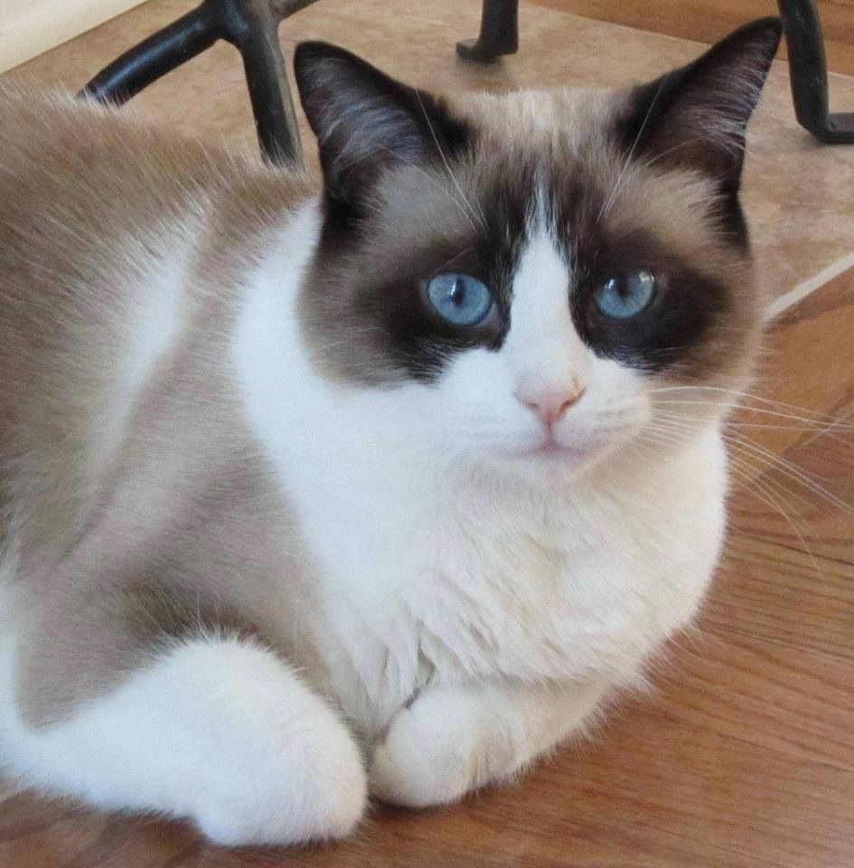 Beautiful eyes! Snowshoe cat, Cat breeds, Siamese kittens
