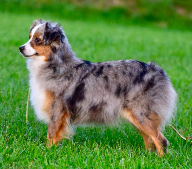 toy australian shepherd in 2020 | Australian shepherd dogs