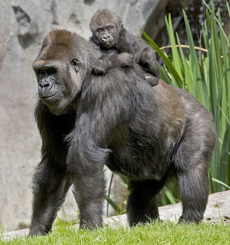 Gorilla San Diego Zoo If You Watch Enough You Might See A Seen Like This When The Dominant Male Tolerates The Younge San Diego Zoo Zoo Pictures Baby Gorillas