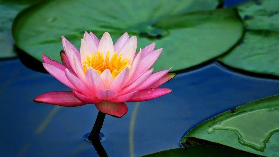 Terkeren 17 Bunga Teratai Picture Bunga Teratai Arti Simbolisme Dan Warna Pengetahuan Bunga Makna Bunga Teratai Lotus Enta Di 2020 Bunga Teratai Lukisan Bunga Bunga