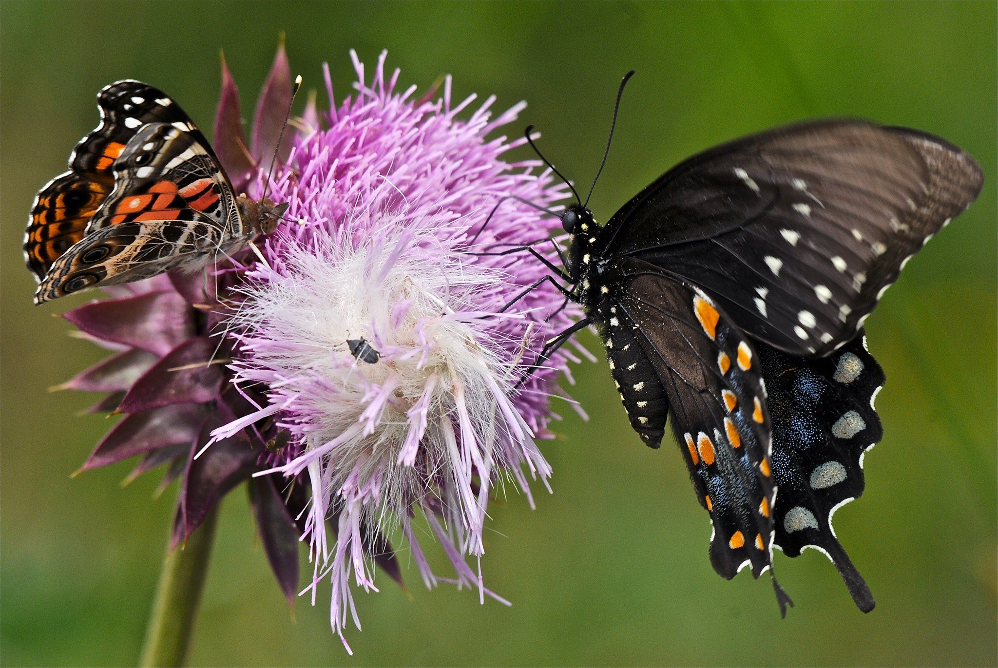 NOT MANY BUTTERFLIES ~ I was looking at some empty milkweed pods when it occurred to me that I have seen almost no butterflies this summer. Fears about pesticides are coming true. This photo is from a couple of years ago. I was cutting musk thistle plants and came across this busy one. Bigger is better. (6/4/13 Peace Valley, Missouri)