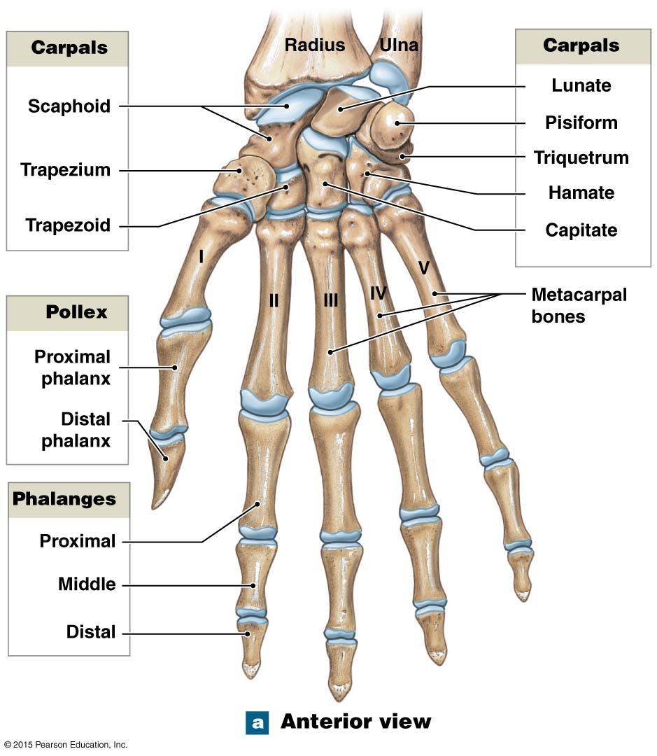 Anterior View Of The Bones Of The Right Wrist And Hand Human Anatomy And Physiology Human Body Anatomy Human Bones Anatomy