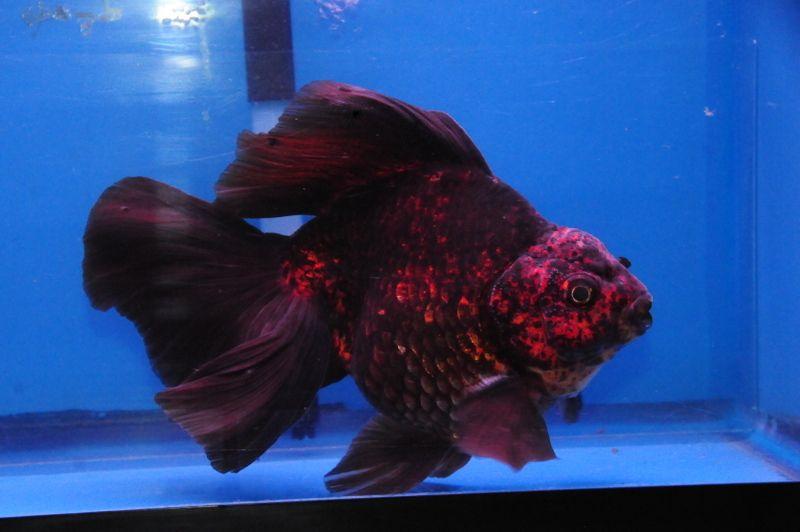 Red Black Broad Tail Ryukin Dandyorandas Com Pet Fish Ryukin Goldfish Oranda Goldfish