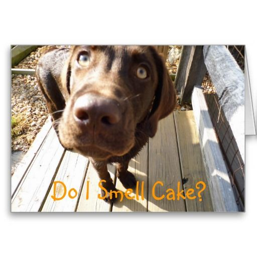 Do I Smell Cake Chocolate Lab Greeting Card Zazzle Com Chocolate Lab Fun Dog Photos Yellow Lab Puppies