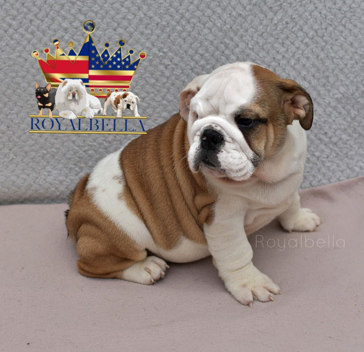 A Top Quality Champion Sired English Bulldog Puppies