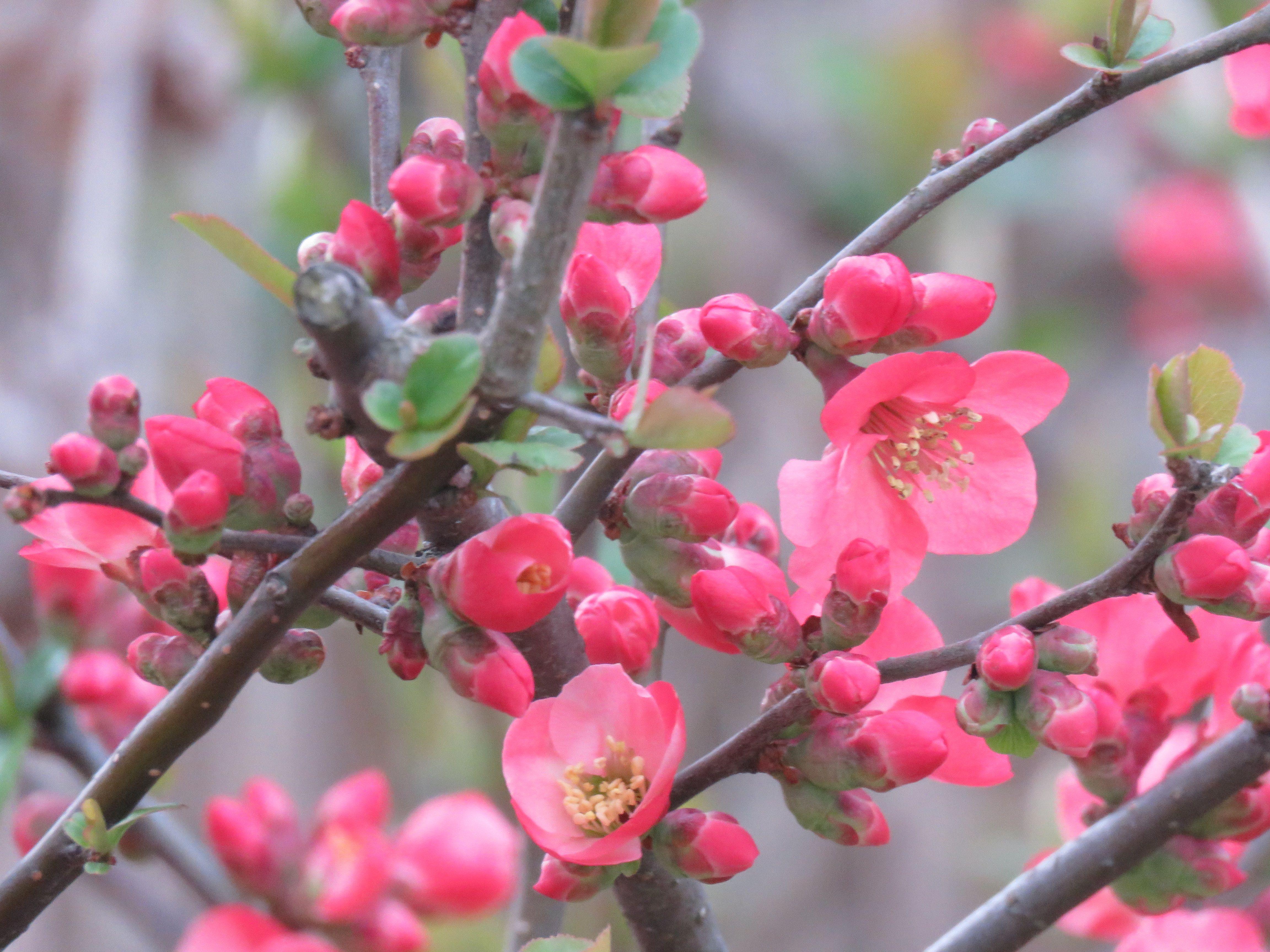ボケの花 Flowering Quince 05 April 2019 花 ボケ