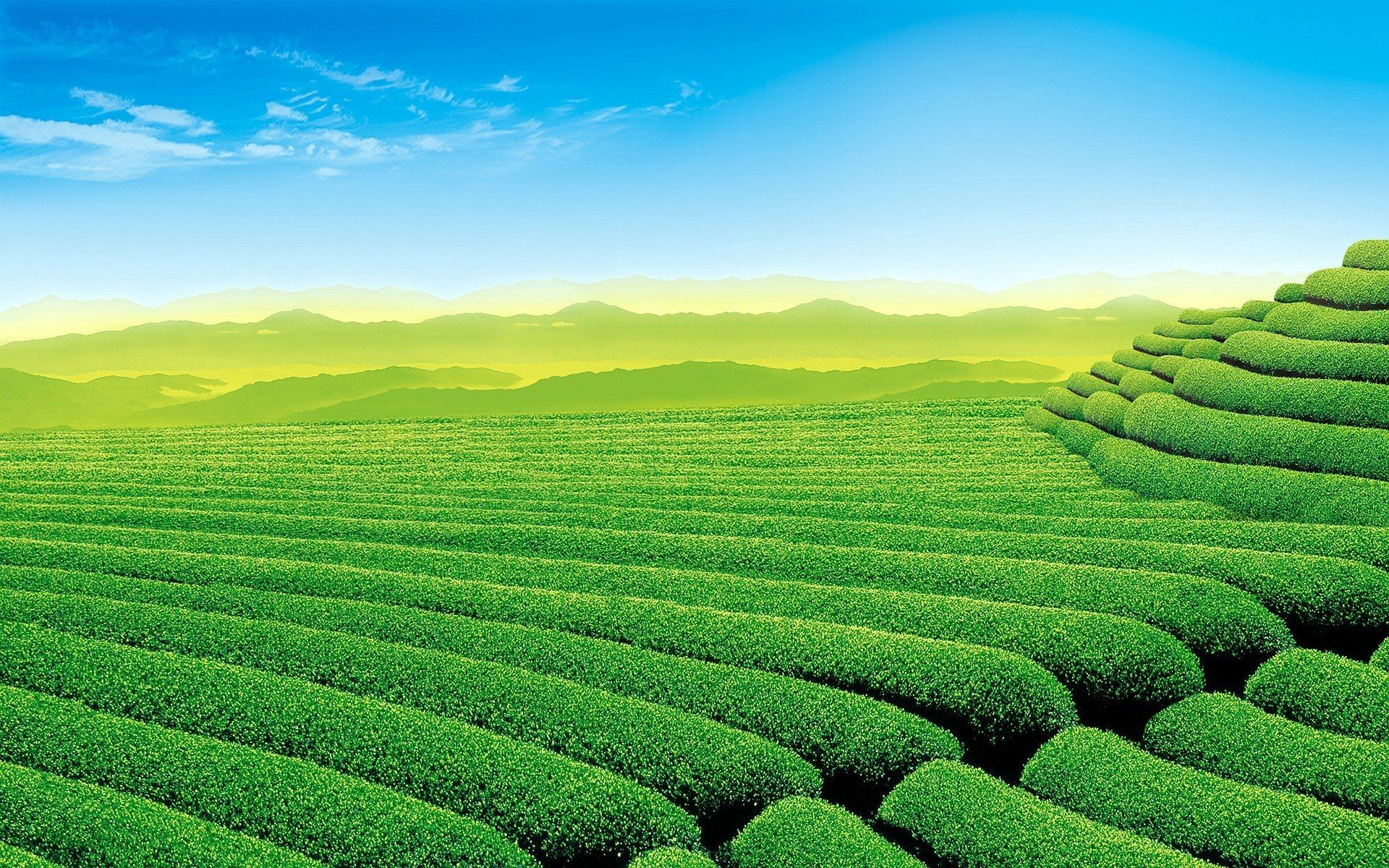11 Tea Plantation HD Wallpapers | Backgrounds - Wallpaper Abyss ...
