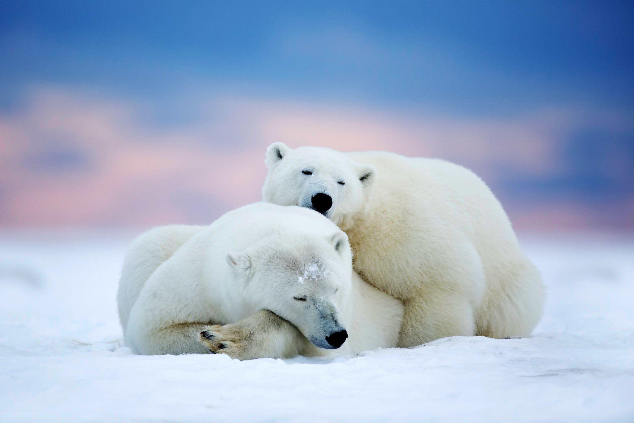 Polar Bears Two Sleeping Snow Sky Winter Animals Bear Wallpaper 2048x1366 588609 Cute Polar Bear Polar Bear Wallpaper Bear Stuffed Animal