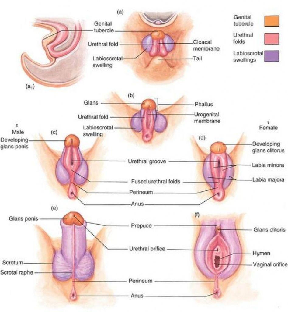Diagram Of Female External Genitalia Female External Genitalia