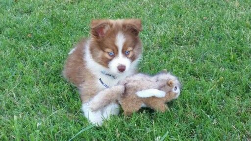 Kai A 9 Week Old Pomsky From Northern California Pomskies Pomsky Northern California Corgi